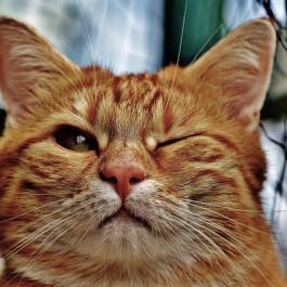 Q. 고양이 눈물과 눈꼽, 어떻게 닦아내야할까?