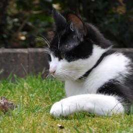 Q. 고양이는 정말 잡은 쥐를 갖고 노는 것일까?