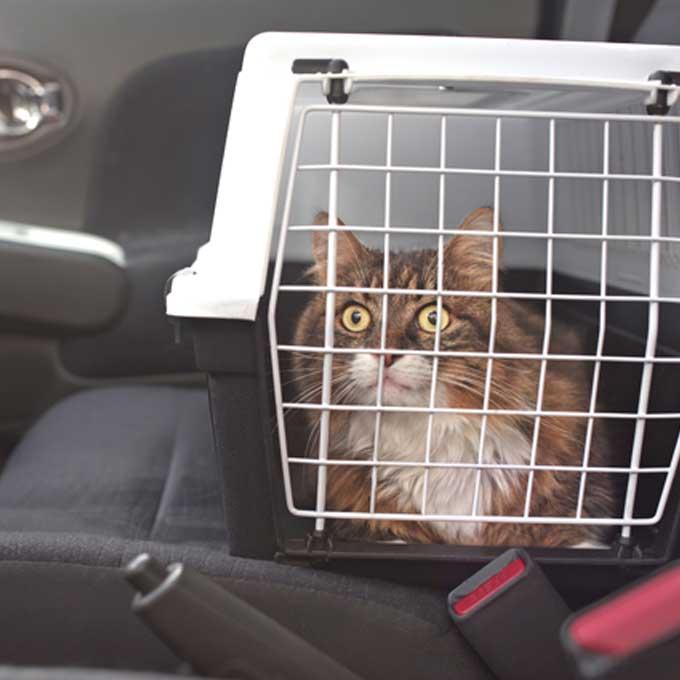 코로나 추석, 그래도 고양이 데리고 이동해야 한다면
