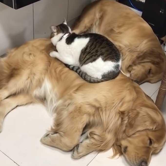 고양이가 리트리버랑 살면 좋은 점