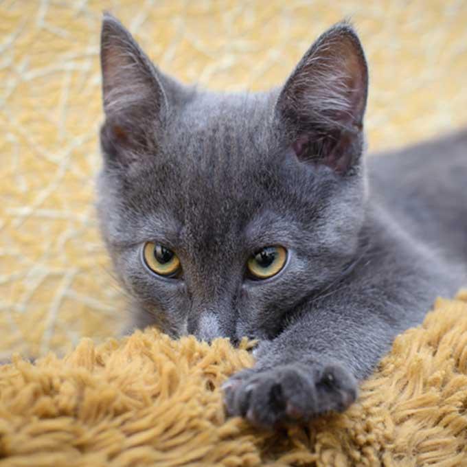 Q. 일명 '울 서킹', 고양이가 춥춥 소리 내며 천 빠는 이유