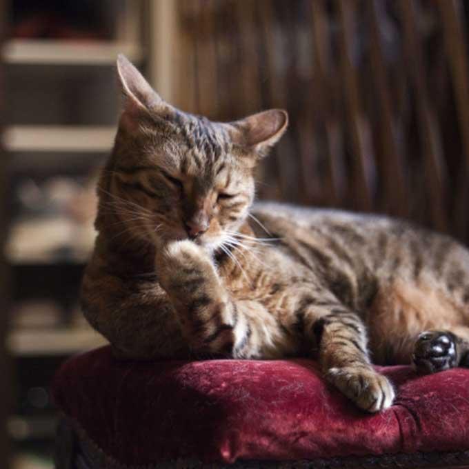 고양이가 앞발을 핥을 때 기분 4