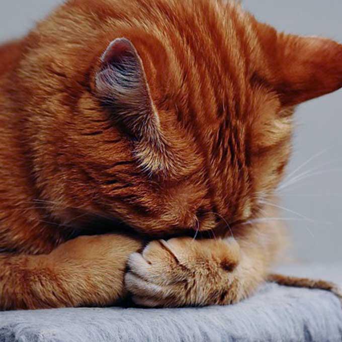 Q. 고양이가 고멘네코 자세로 자는 이유는?
