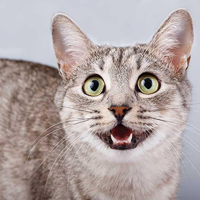Q. 고양이가 집사를 조를 때 하는 행동 4
