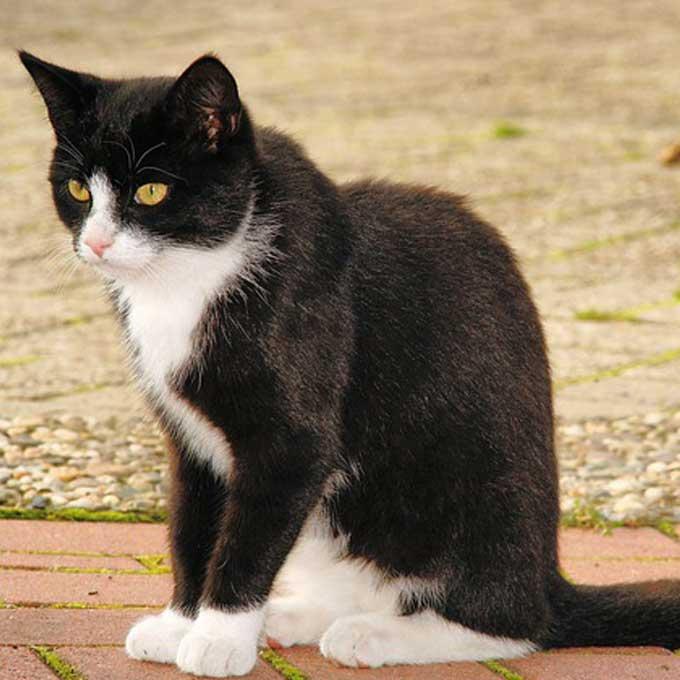 Q. 배가 검고 등이 하얀 고양이는 없다, 고양이 털색 법칙