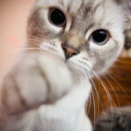 Q. 고양이가 냥펀치를 날리는 이유와 이때의 위력은?