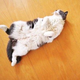 고양이가 배를 보여주는 이유에 대한 동물학자들의 대답