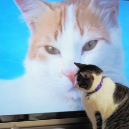 Q. 고양이가 TV에 앉는 심리는?