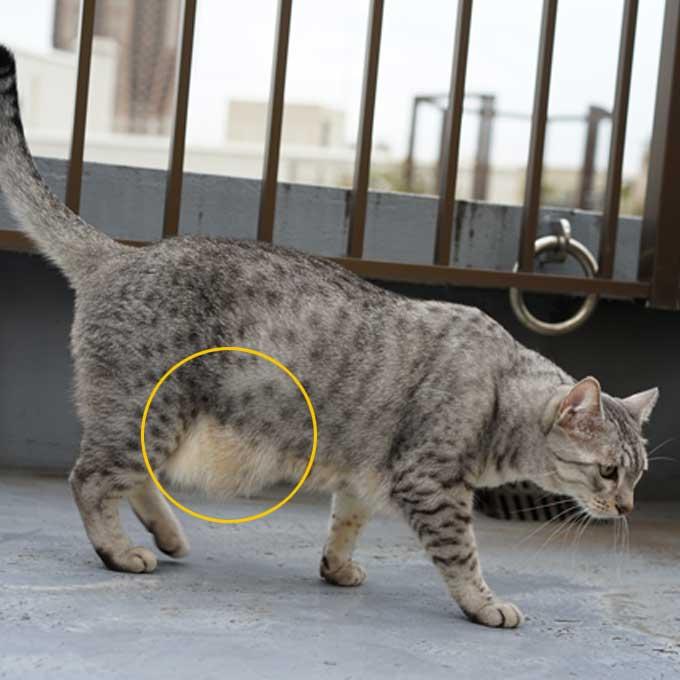 출렁출렁 고양이 배! 뱃살일까 원시 주머니일까, 집에서 간단히 확인하는 법